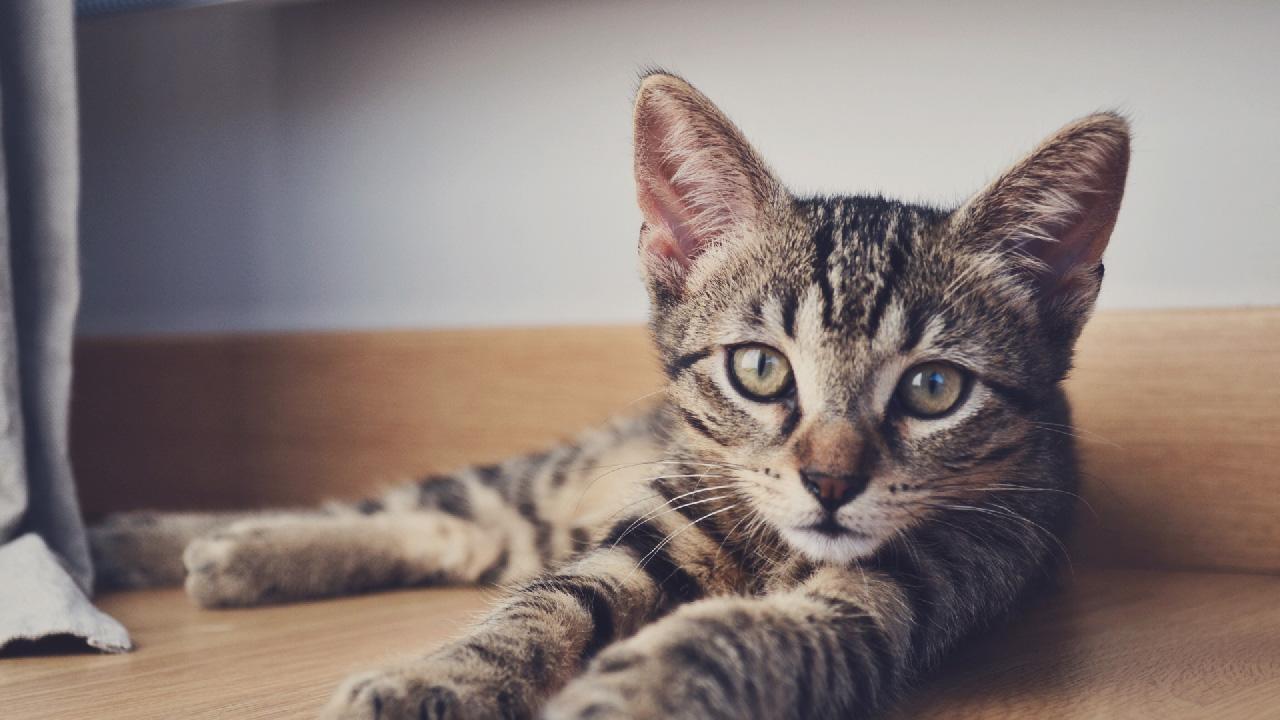Médaille pour chat: quelle est sa forme?